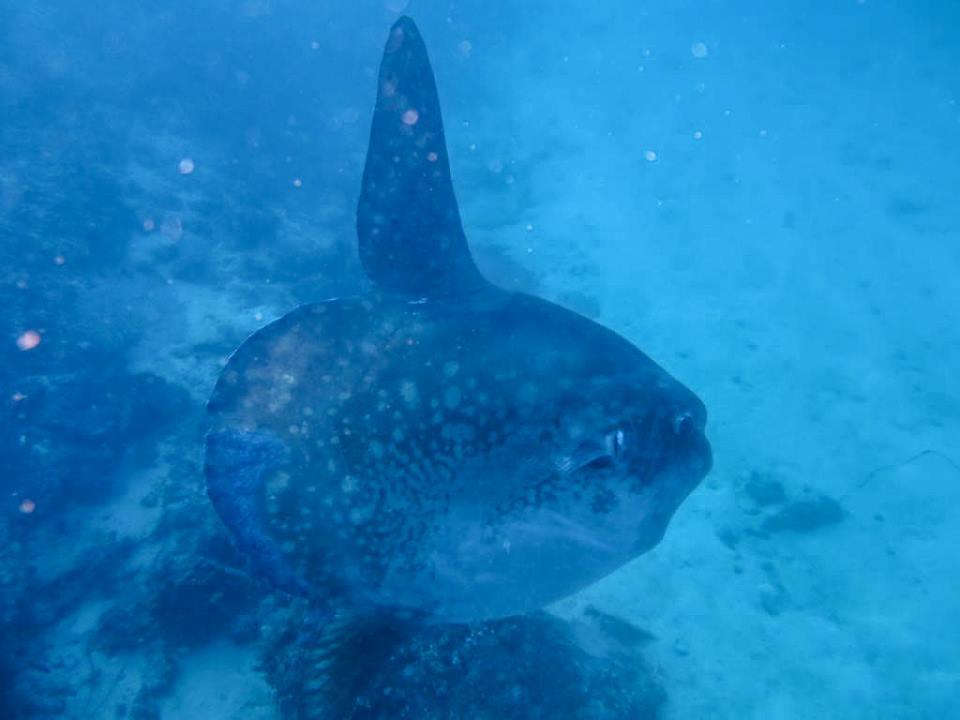 Le mola mola bali : la vedette de l'île de Bali
