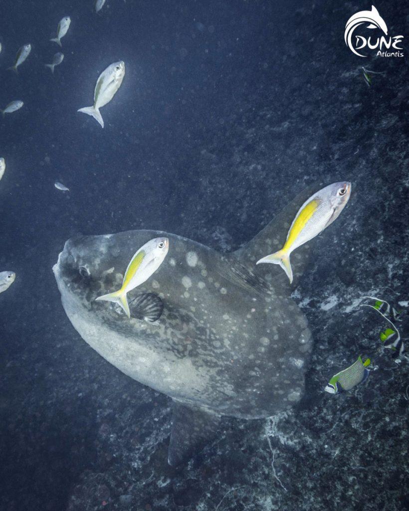 Plonger avec Mola Mola Bali est une opportunité rare